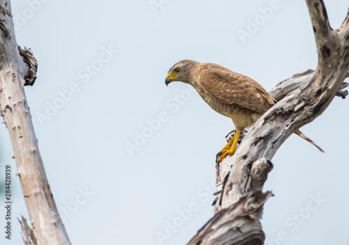 Belize, Ambergris Caye. Roadside Hawk hunts from a snag. Canvas Print