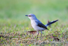 Belize, Crooked Tree Wildlife Sanctuary. Tropical Mockingbird Walks Across A Lawn Hunting For Food.