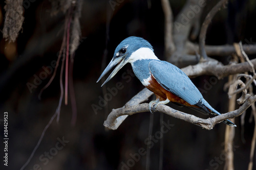 Brazil, Mato Grosso, The Pantanal, ringed kingfisher (Megaceryle torquata) on a branch Canvas Print