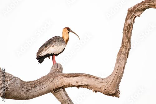 Fotografija  Pantanal, Mato Grosso, Brazil. Buff-necked Ibis in a dead tree.
