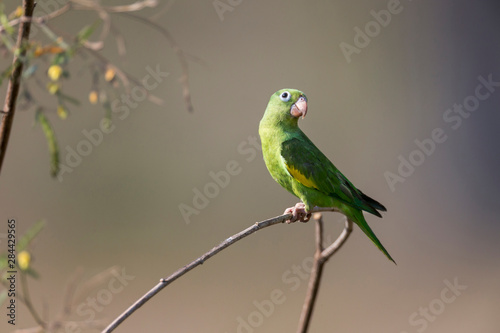 Brazil, Mato Grosso, The Pantanal, yellow-chevroned parakeet (Brotogeris chiriri) Canvas Print