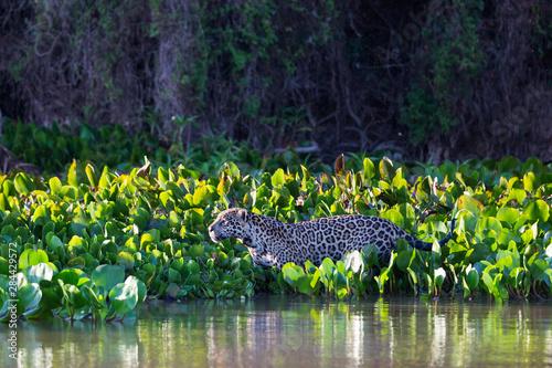Fotografija  Brazil, Mato Grosso, The Pantanal, Rio Cuiaba, jaguar (Panthera onca) hunting through water hyacinth