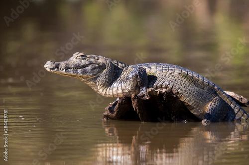 Fotografie, Tablou Brazil, Mato Grosso, The Pantanal, Rio Cuiaba, black caiman (Caiman niger) sunning itself