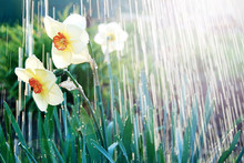 Watering White Yellow Daffodil...