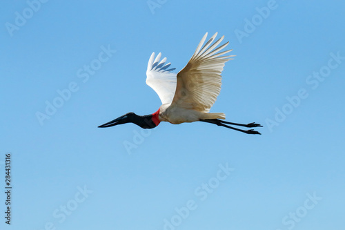 Fotografija  Pantanal, Mato Grosso, Brazil. Jabiru flying.