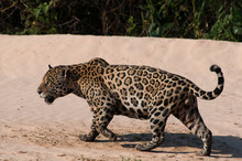 Brazil, Pantanal Wetlands, Male Jaguar (Panthera Onca) On The Sandy Bank Of The Three Brothers River