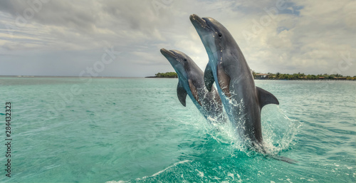Fototapeta Bottlenose Dolphins (Tursiops Truncatus), Caribbean Sea, Roatan, Bay Islands, Ho
