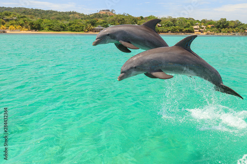 Slika na platnu Bottlenose Dolphin (Tursiops Truncatus), Roatan, Bay Islands, Honduras