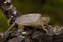 Alligator Snapping Turtle Or S...