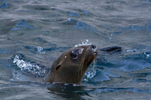 California Sea Lion. Isla San ...