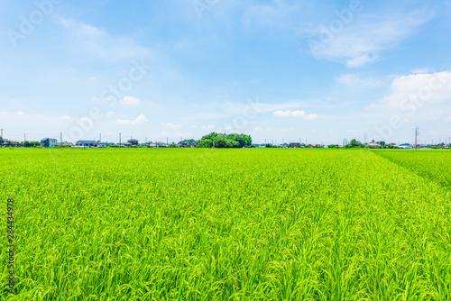 Photo sur Toile Vert chaux 水田地帯 Rice Fields, Japan.