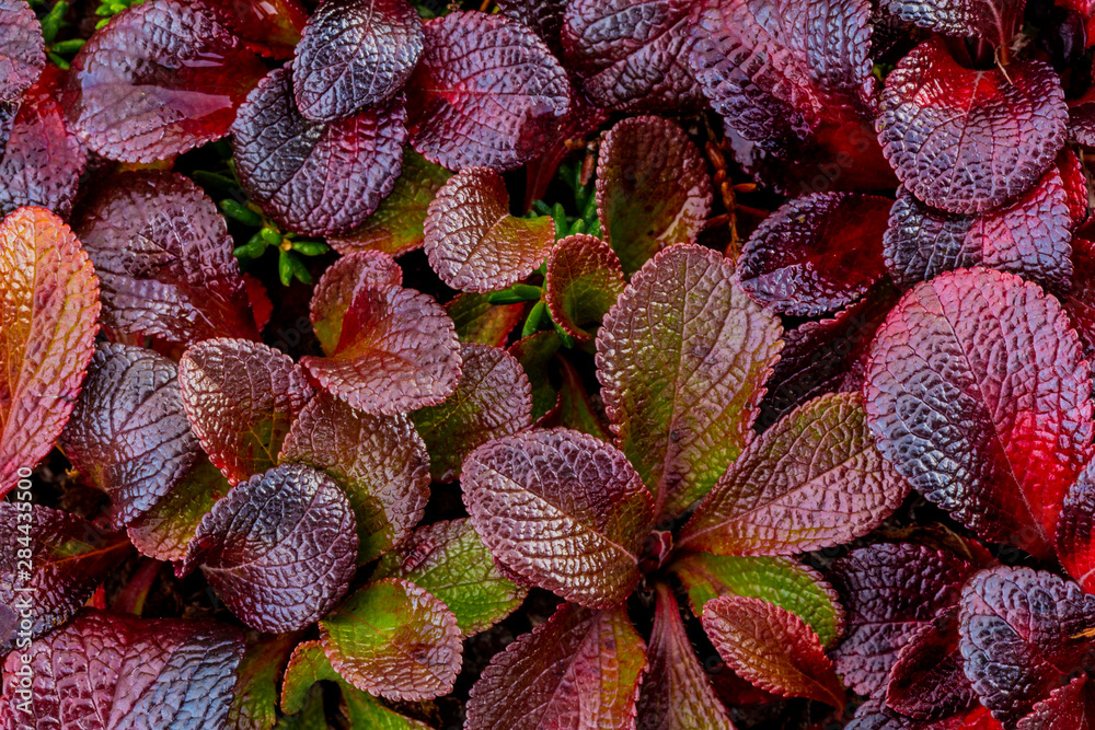 USA, Alaska. Close-up of alpine bearberry plants. Credit as: Don Paulson / Jaynes Gallery / DanitaDelimont.com