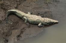 Costa Rica, American Crocodile...