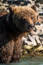 Grizzly Or Brown Bear (Ursus Arctos) At Crescent Lake, Lake Clark National Park And Preserve, Alaska, USA.