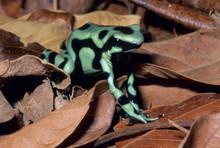 Poison Dart Frog, (Dendrobates Auratus), Costa Rica.