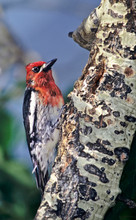 USA, California, Eastern Sierras, Lee Vining. Male Red-breasted Sapsucker Perched On Aspen Tree.