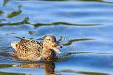 USA, Alaska. A Female Mallard Duck Quacking As She Swims On A Lake.