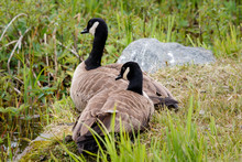 USA, Alaska. A Pair Of Canada Geese Rest On The Edge Of The Marsh Near Anchorage.