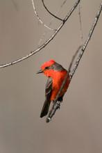 USA - California - San Diego County - Vermilion Flycatcher Sitting On Branch