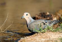 The Mourning Dove (Zenaida Macroura) Drinking At A Small Pond.