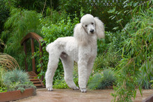 White Standard Poodle In Garden