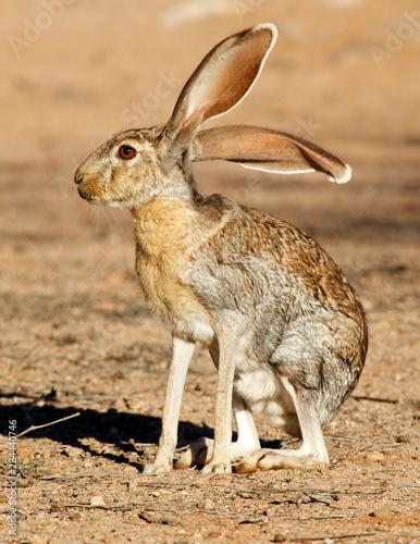 Obraz na plátne Antelope Jackrabbit (Lepus alleni)