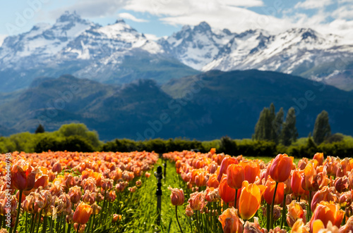 Tulip fields in Patagonia Argentina with mountains background