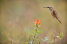 USA, Colorado, Woodland Park. Broad-tailed Hummingbird And Indian Paintbrush Flower.