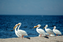White Pelicans (Pelecanus Erythrorhynchos) On The Shore Of The Toxic And Salty Salton Sea In California.