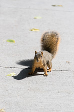 USA, Colorado, Denver. Easter Fox Squirrel (Sciurus Niger) Native To North America. Endangered In Some Areas Due To Predation.