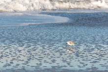 Usa, California, Oxnard. Sanderling Searches For Food In Wet Sand Of Retreating Wave