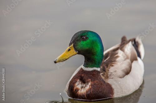 Fotografía A Drake Mallard afloat in the waters of Lake Murray, San Diego California