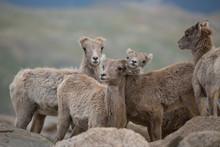 USA, Colorado, Mt. Evans. Group Of Young Rocky Mountain Bighorn Sheep.