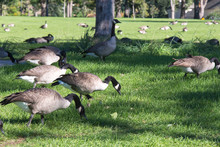 USA, Colorado, Denver. Overpopulated Canada Geese (Branta Canadensis). Large Acclimated Flock At Cheesman Park Take Over Fields.