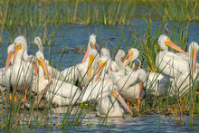 A Flock Of White Pelicans Resting After Feeding All Day, Pelecanus Erythrorhynchos, Viera Wetlands Florida, USA