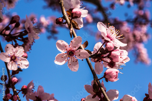 Washington, DC. Pink Cherry Blossoms on branches Wallpaper Mural