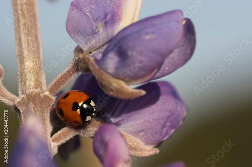 Fotografie, Tablou Convergent ladybird beetle on lupine, Santa Monica Mountains National Recreation