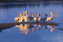 North America, USA, Florida, Sanibel Island, Ding Darling National Wildlife Refuge. A Group Of White Pelicans (Pelecanus Erythrorhynchos) In Early Morning Light