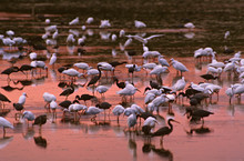 North America, USA, Florida, Sanibel Island, Ding Darling National Wildlife Refuge. A Mixed Flock Of Wading Birds Feeding After Sunset - Mostly Snowy Egrets, Tri-colored Herons, And White Ibis