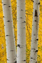 Stand Of Aspen Trees And Trunks In Fall Color, Uncompahgre National Forest, Sneffels Range, Sneffels Wilderness Area, Colorado