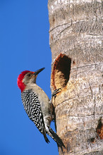 North America, USA, Florida, Everglades National Park. A Male Red-bellied Woodpecker (Melanerpes Carolinus) At Its Nesting Hole