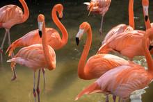USA, Florida, Orlando, Gatorland, Flamingoes