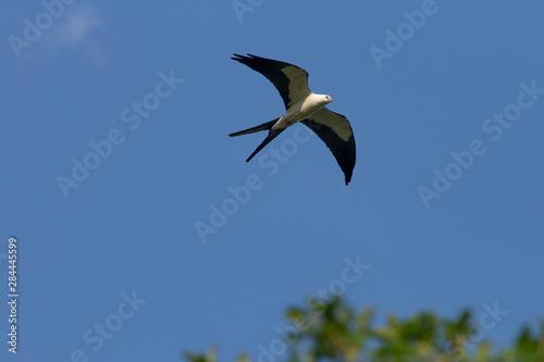 Swallow-tailed kite, Elanoides forficatus, in flight, Kissimmee Preserve State P Wallpaper Mural
