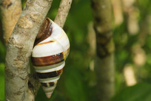 Florida Tree Snail (Liguus Fasciatus) Everglades National Park, Post Hurricane Wilma, Florida, USA