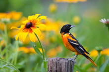 Baltimore Oriole (Icterus Galbula) Male On Post In Flower Garden With Black-eyed Susans (Rudbeckia Hirta), Marion, Illinois, USA.