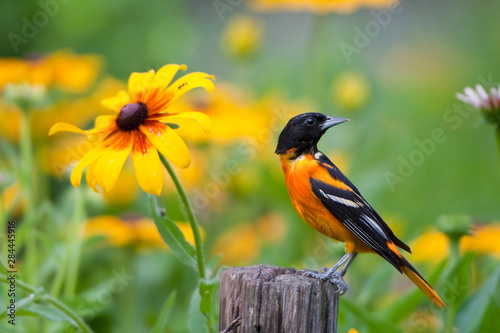 Fotografija  Baltimore Oriole (Icterus galbula) male on post in flower garden with Black-eyed Susans (Rudbeckia hirta), Marion, Illinois, USA