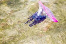 Portuguese Man O' War Jellyfish (Pgysalia Physalis) Florida Bay, Florida Everglades National Park, Florida, USA