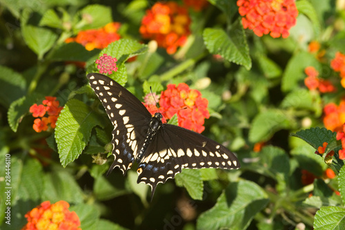 Valokuva Black Swallowtail (Papilio polyxenes) male on Red Spread Lantana (Lantana camara)