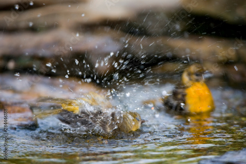 Stampa su Tela  Baltimore Orioles (Icterus galbula) immature bathing, Marion, Illinois, USA