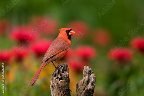 Photo Northern Cardinal (Cardinalis cardinalis) male on fence post in flower garden, Marion, Illinois, USA